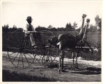 Cawston Ostrich Farm: Two-Ostrich Delivery Cart