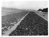 [Oxnard sugar beet field looking north]