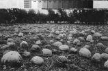 A photograph of a field of melons near Turlock, California, circa 1910.