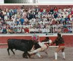 """Men attempt a """"pega de touros"""" (bull catch) near Crows Landing, California, April 30, 1989."""