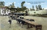 """Cawston Ostrich Farm Postcard: """"""""Feeding Time"""""""""""