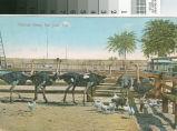 Postcard of the Ostrich Farm, San Jose, Cal.