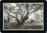 Photograph of oak tree at Mills College
